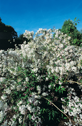 Deutzia purpurascens