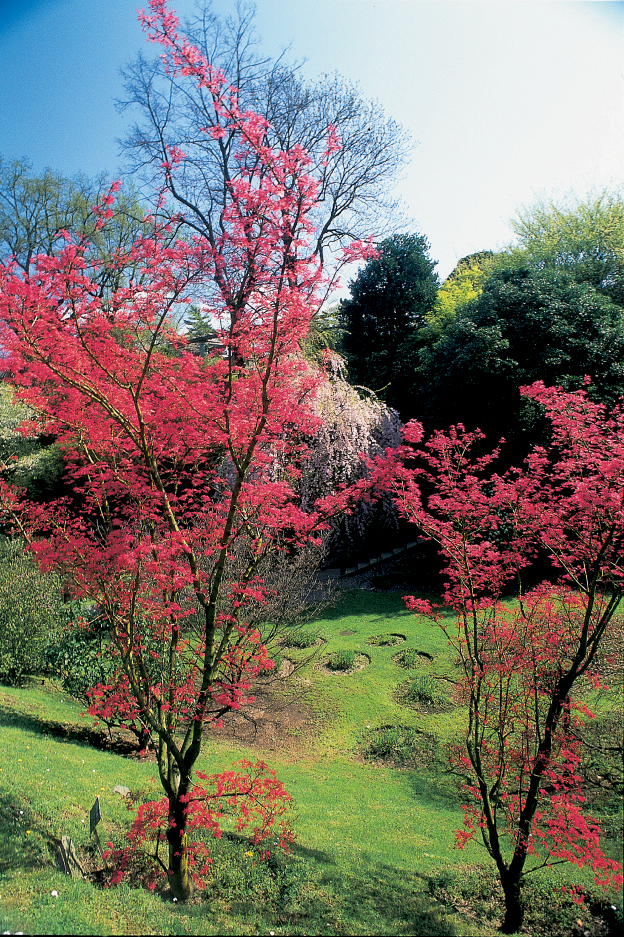 Acer palmatum 'Captain Mc Eacharn' in aprile