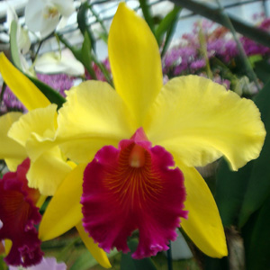 Cattleya 'Chuneyath'