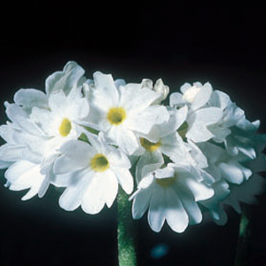 Primula denticulata Alba