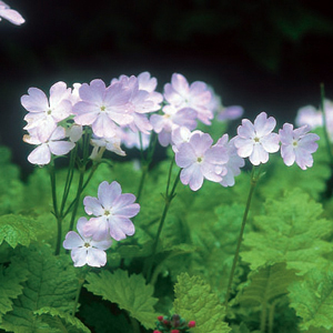 Primula sieboldii Fantasy