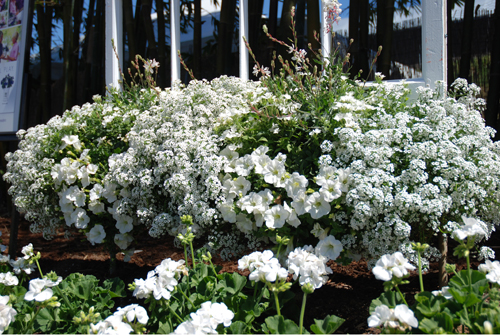 Lobularia 'PW Snow Princess' di Andreas Psenner