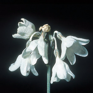 Primula ioessa