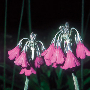 Primula secundiflora