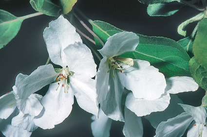 Malus hupehensis