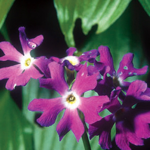 Primula involucrata