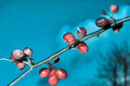Malus toringoides