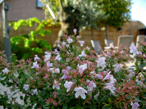 Abelia x grandiflora Sunshine Daydream di Lambo (www.lambo.it) ama il pieno sole, fiorisce da luglio a settembre, ha foglie decidue che si colorano di rosso in primavera. Raggiunge unaltezza massima di un metro e mezzo. Deve essere potata a marzo e a settembre.