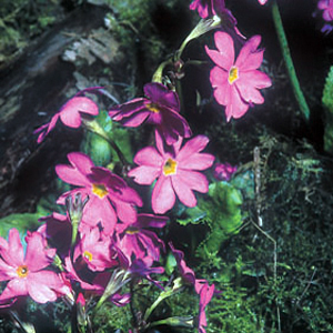 Primula rosea