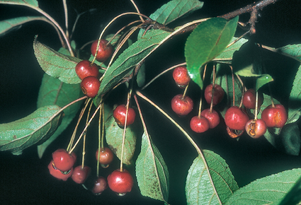 Malus huprhensis