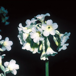 Primula alpicola var. alba