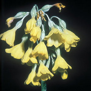 Primula sikkimensis