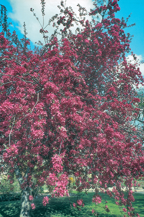 Malus x purpurea Eleyi