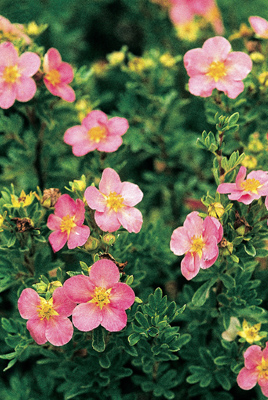 Potentilla 'Lovely Pink'