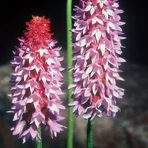 Primula viali