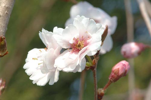 Prunus 'Hally Jolivette'