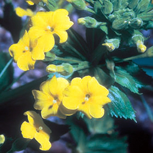 Primula edelbergii
