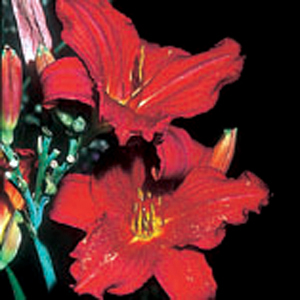 Hemerocallis 'Scotland'