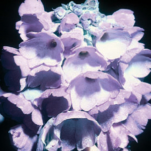 Primula flaccida