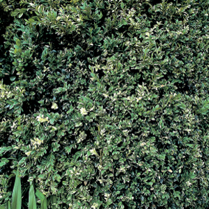 Buxus sempervirens 'Aureovariegata'