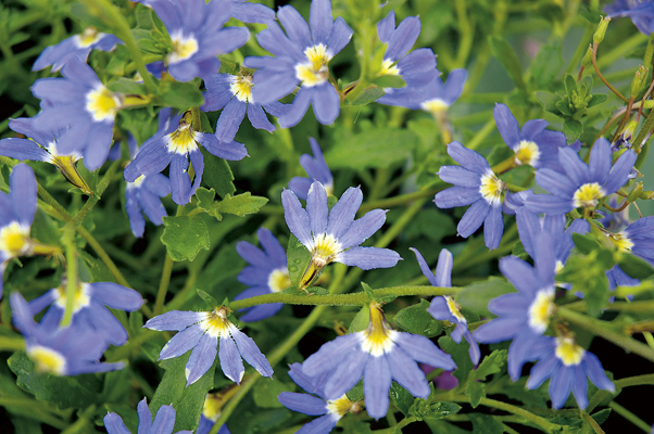 Scaevola Little Wonder