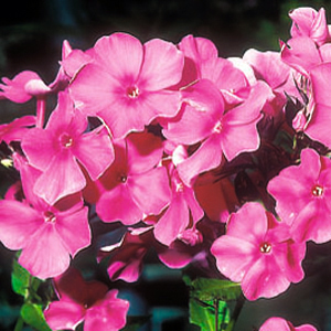 Phlox paniculata 'Otley Choice'