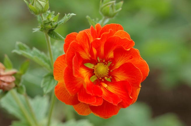 Potentilla 'William Rollison'