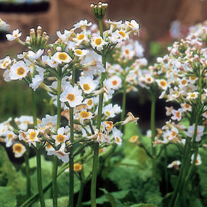 Primula japonica Postford White