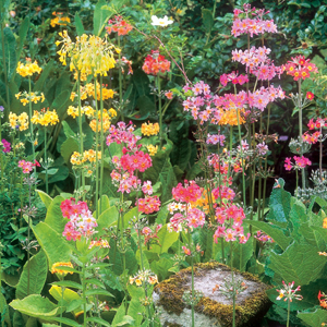 Primula Candelabra
