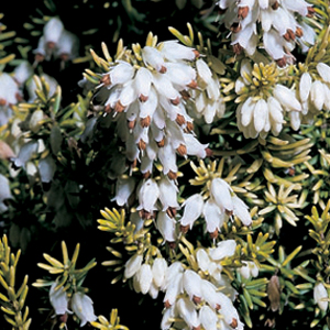 Erica erigena  'Golden Lady'