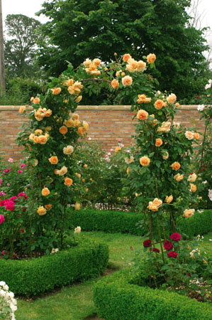 Crown Princess Margareta Rampicante
