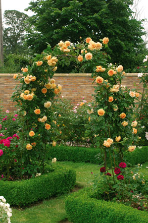 Rosa Crown Princess Margareta Rampicante