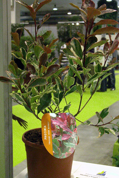 Photinia x fraseri Cassini della francese Andr Briant Jeunes Plants (www.andre-briant.fr),  una mutazione di Red Ribin con foglia variegata di bianco crema e giovani germogli variegati di rosa-rosso.