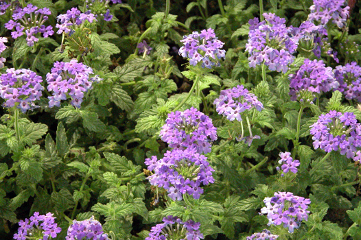 Verbena Verpita Blu di Planta (www.planta.it), ha un colore veramente sorprendente e magnifico.