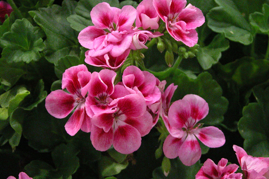 Pelargoni Pac Flower Fairy Rose di Andreas Psenner (www.psenner.it)