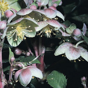 Helleborus x sternii 'Boughton Beauty'