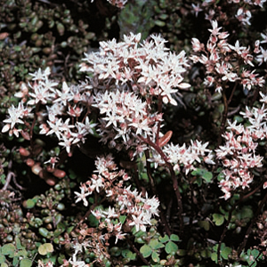 Sedum sediforme