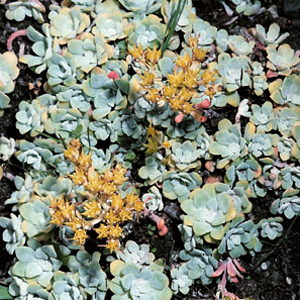 Sedum spathulifolium