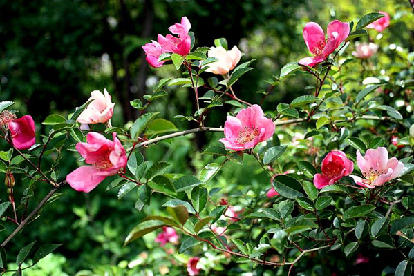Rosa chinensis Spontanea,  rampicante di 350 cm, ha il tipico fogliame della sua specie, piccolo e verde scuro. Produce fiori semplici rosa con striature bianche e crema, nell&#8217;imvecciare il colore passa al carminio e giallo con un sospetto di rosso. Sorprendente se lasciata crescere su un piccolo albero.