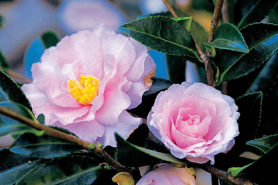 Camellia sasanqua 'Betty Patricia'