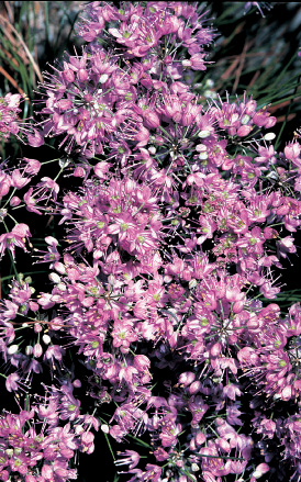 Allium thunbergii