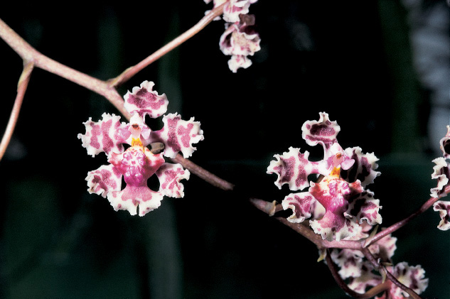 Oncidium carthagenense