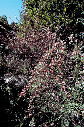Cytisus scoparius 'Windlesham Ruby'