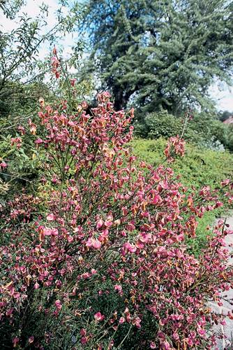 Cytisus scoparius 'Garden Magic'