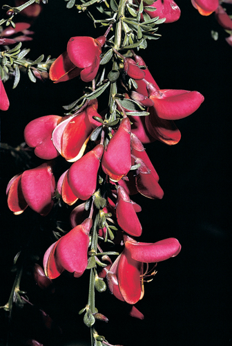 Cytisus scoparius 'Killiney Red'