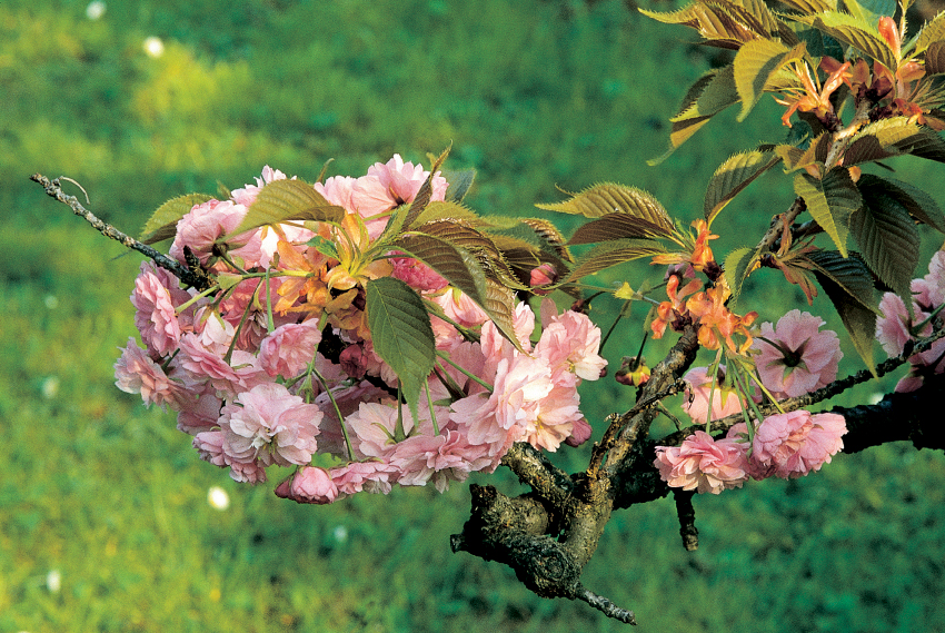 Prunus 'Veitchii'