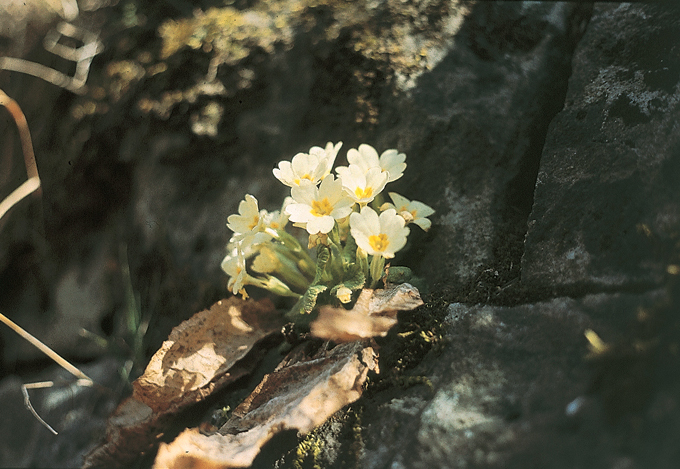 Primula officinalis