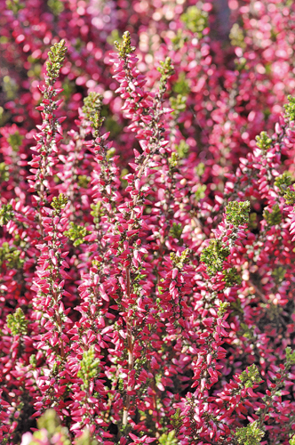 Calluna vulgaris 'Kingfisher'