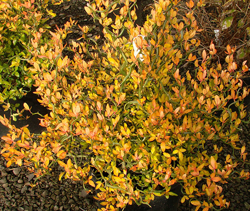 Poncirus trifoliata 'Flying Dragon' a ottobre