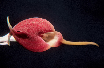Masdevallia virgo-evencae 'Chola'